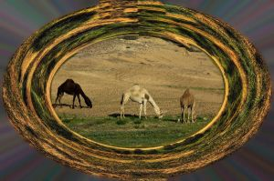 The Three camels by haimohayon