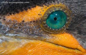 Cormorant Eye by FForns
