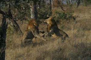 Two Male Lions fighting over a female 015 by Elishapira