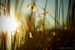 Sunset Reeds Two by FabianFynn