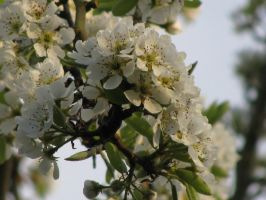 Pear Blossoms by Phoenix1256