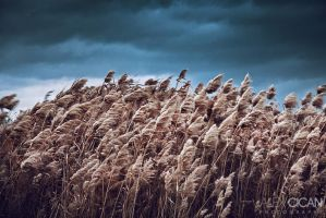 Reed by sican