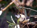 Double Barred Finch by Forbidden-Lover