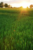 green gold field by sosisk86