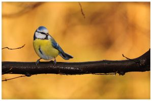 Birds 72 - Blue Tit by RomRom53