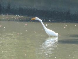 Egret Yelling by o-Sparticaus-o