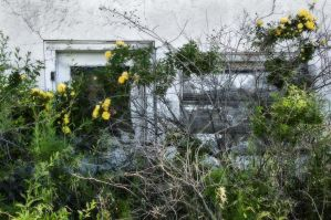 Flo's Yellow Rose is Closed by Corvidae65
