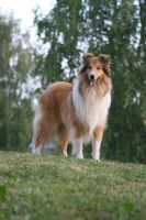 Harry the Collie by SaNNaS