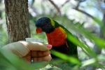 Lorikeet Love by yurusumaji