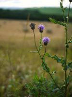 thistles at harvest time by Blue-eyed-Kelpie