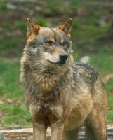 The Wolf (Canis lupus) by GerardPort