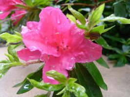 Flower Raindrops by naca0012