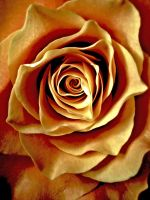 A Rose is a Rose is a... by MadRed