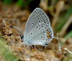 Eastern Tailed-Blue by duggiehoo