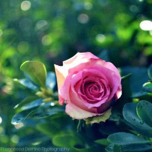 Pink rose with bokeh 2 by FrancescaDelfino