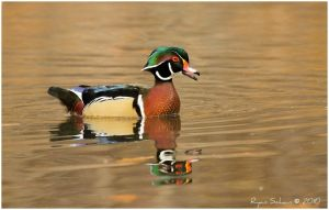 Wood Duck -- Calling by Ryser915