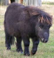 Black Miniature Horse 2 by Gracies-Stock