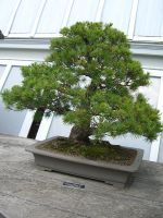 bonsai 1.7 - jap. white pine by meihua-stock