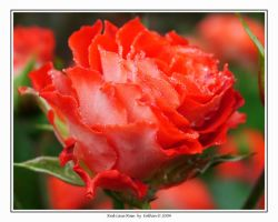 Red Lace Rose 002 by Eolhin