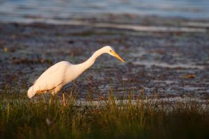 Great White Egret by Lightkast