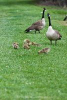 Canada Goose Family by Katastrophey