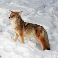 Yellowstone Coyote by mercorex