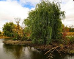 Weeping Willow by MacroMagnificent