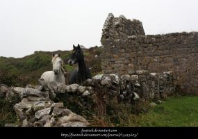 Connemara ponies4 by faestock