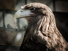 Golden Eagle by 01-11-89
