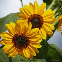 Twin sunflowers by Mogrianne