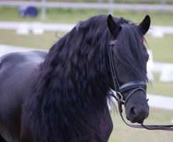 STOCK - Friesian Show 2012-43 by fillyrox