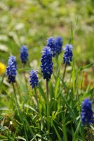 Grape hyacinth by hoshitsu