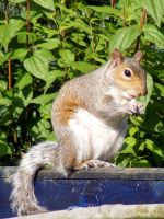 Squirrel by Talei-stock
