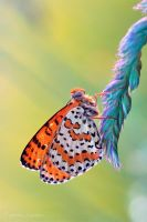 Melitaea didyma in the sun by Verdenwelt