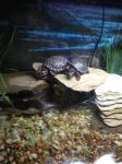 Spotted Turtles by iHateYouLovie93