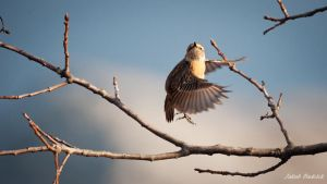 Stonechat in flight by Dunadan-from-Bag-End