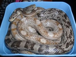 How many corn snakes can fit in a ice cream tub? by StormReptiles