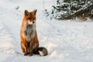Fox by mironphoto