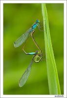 Damselfly making love.... by avdstelt