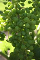 Wine Grapes: The Early Years by Kage-Kaldaka