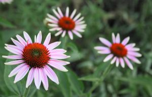 Coneflower by kitty12197