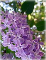 Lilac II by miss-gardener