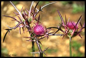 Syrian thistle by ShlomitMessica