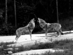 Wolves by ellaa209
