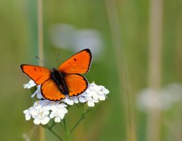Lycaena dispar by efeline