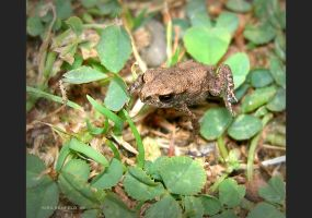 Wild Frog by Kira-R