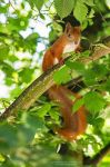 Red Squirrel by DominikaAniola