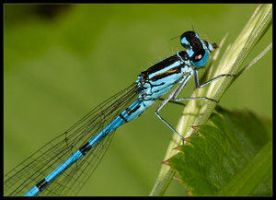 Damselfly 2 by Insect-Lovers-Club
