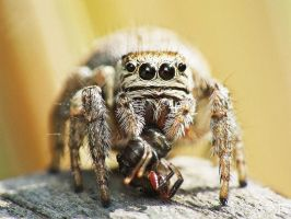 Jumping spider by TiogaWhiteTiger