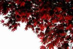 maple tree in may by yamakazi18